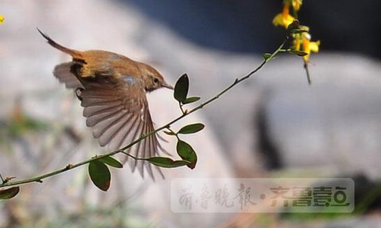 清晨窗外叽喳,小区高树布谷,济南市区鸟儿多起来!