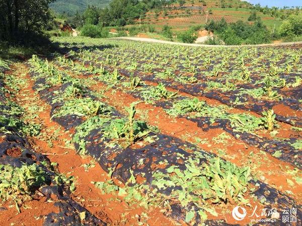 云南鲁甸风雹灾害致7万亩农作物受灾 烤烟被打成光杆图片