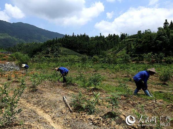 6月5日,广西柳州三江侗族自治县良口乡和里村村民在蓝莓基地里除草图片