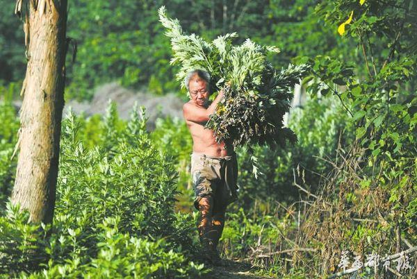 付开明将收割来的艾草搬到树林中打捆准备出售。