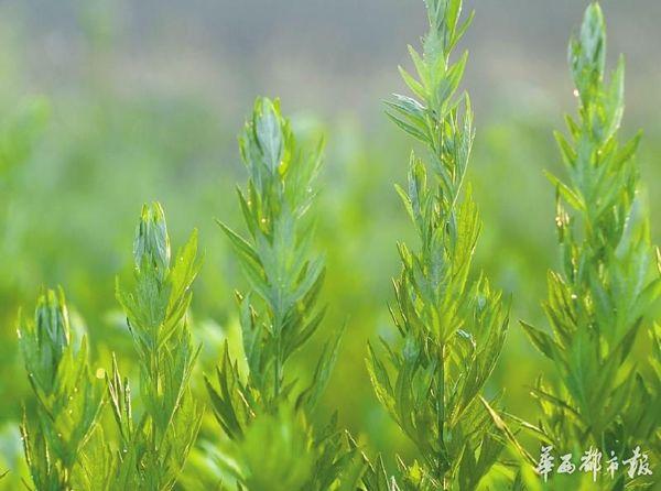 晨雾中的艾草沾满露水。太阳出来之前,付开明必须收割完毕,否则艾草将很快枯萎。