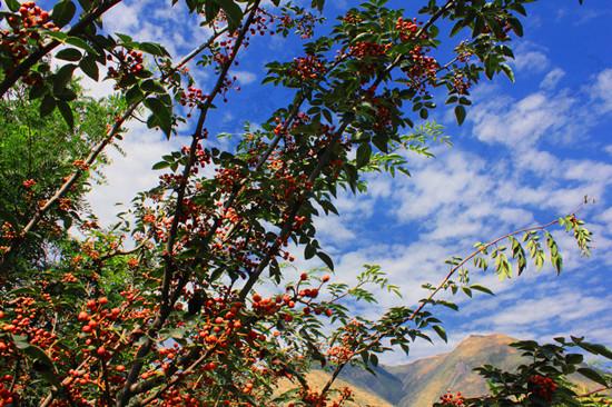 资料图:花椒树.(图片与文字无关)