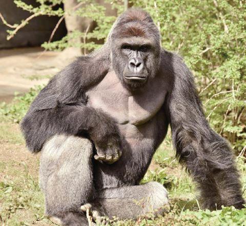 生活在美国辛辛那提动物园的银背大猩猩哈兰贝