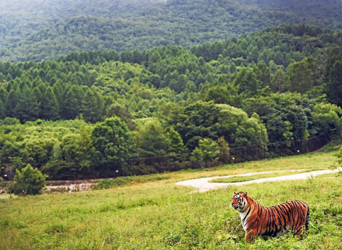 老虎咬人为何成中国社会热点:舆论支持要遵守规则