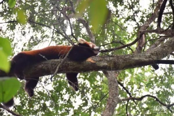 杭州动物园一小熊猫在西湖边被抓