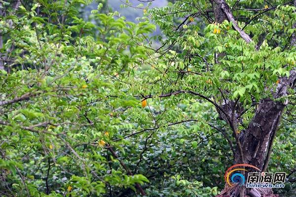 三亚市民果园的果子熟啦 丰收景象受市民称赞图片