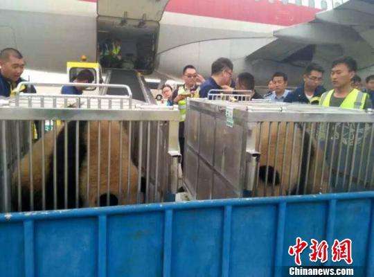 """图为熊猫姐妹即将从鄂尔多斯机场前往它们的""""草原之家""""  鄂尔多斯旅游局提供"""