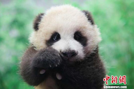 可爱的熊猫宝宝百日了