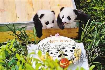 重庆动物园首对同时成活的大熊猫双胞胎——大双,小双,昨日满百天
