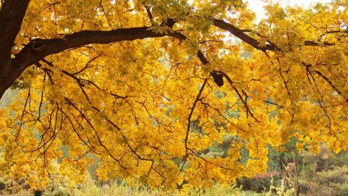 金色枫叶铺满地,迷醉山师小女生