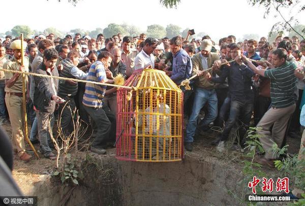 """11月17日消息,近日在印度拉贾斯坦邦PREMPURA,林业人员在伦滕波尔国家公园救出一只被困井中的雌性老虎""""闪电"""",并将它放回自然保护区。图片来源:视觉中国"""