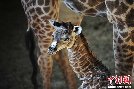 11月17日拍摄的长颈鹿母子。 中新社记者 刘冉阳 摄 近日,云南野生动物园的南非长颈鹿家族添新丁,一只可爱的长颈鹿宝宝降生,这是南非长颈鹿到云南安家3年降生的第一只小长颈鹿。饲养员介绍,长颈鹿母子在室内呆上一周后,将看天气情况,决定是否安排去室外运动场活动。天气晴好的时候,长颈鹿宝宝就可以和游客见面了。