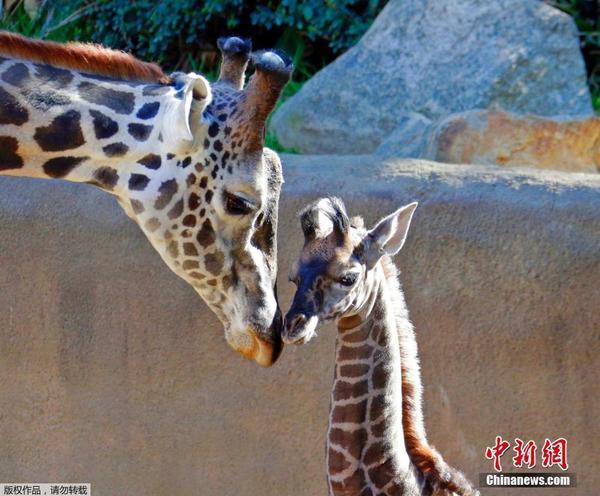 洛杉矶动物园新添小长颈鹿 与父亲亲密碰头画面感人