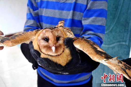 """云南市民救助""""猫头鹰"""" 后经鉴定为国家二级野生保护动物草"""