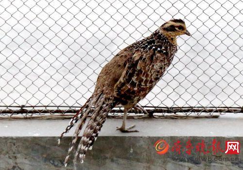 济南动物园的各种鸡成了明星,其中还有很多是珍稀保护动物.