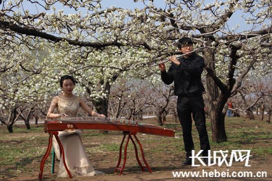 梨花树下的古筝表演。通讯员 李东辉 摄