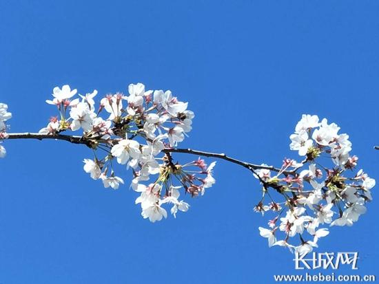 拍樱花·赏美景 长城网邀您共享樱花盛宴