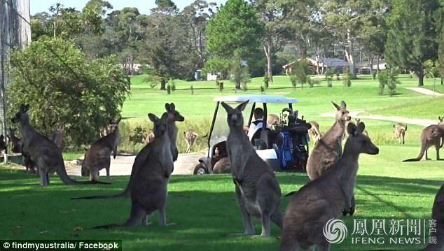 澳大利亚高尔夫球场被袋鼠占领了_资讯频道_凤凰网