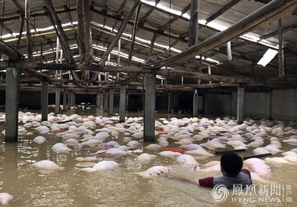 越南洪灾致54死 养猪场被淹一幕 (组图)
