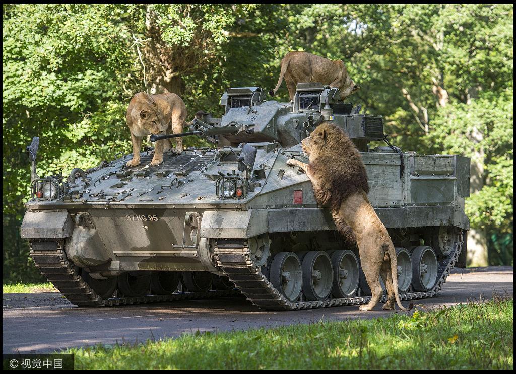 英国动物爬上装甲车一幕