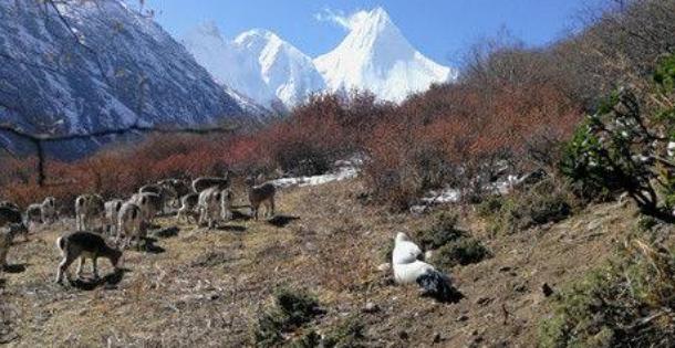 稻城亚丁藏马鸡下山,与游客互动欢度中国年