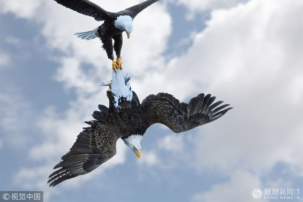 为抢夺一条鱼 两只秃鹰在高空中 撕破脸