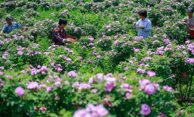 山东淄博:玫瑰香溢乡村振兴路