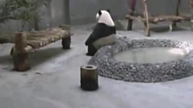 """熊猫""""贝贝""""热到怀疑人生 日本主持人都笑翻了"""