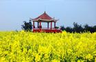 油菜花盛开的季节,是一片金色的花的海洋。