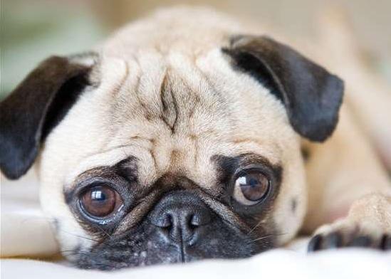 整体来说,当狗狗肠胃不舒服时,会出现呕吐腹泻、肠胃消化负担出现肠胃消化障碍,同时出现挑食或者厌食症,或者出现消化系统紊乱等症状。如果饲养者不及时的给狗狗进行有效的治疗。狗狗肠胃从不舒适也会发展成为严重的肠道疾病,到时狗狗日渐消瘦,不见进食,患病严重时还会出现便甚的情况,严重的威胁着狗狗的生命安全。