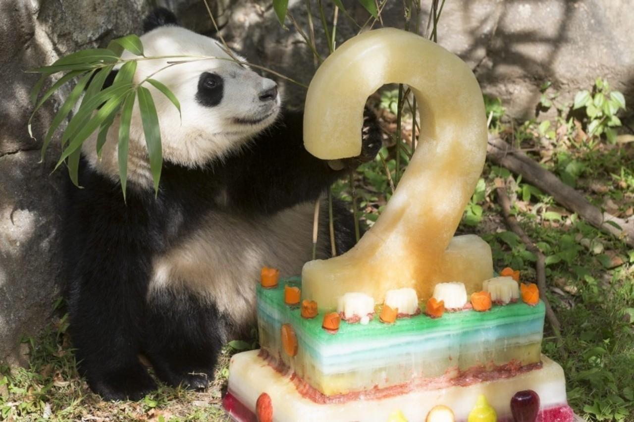 在这三个动物园,可爱的大熊猫们都自带主角光环,享受着好莱坞明星般的