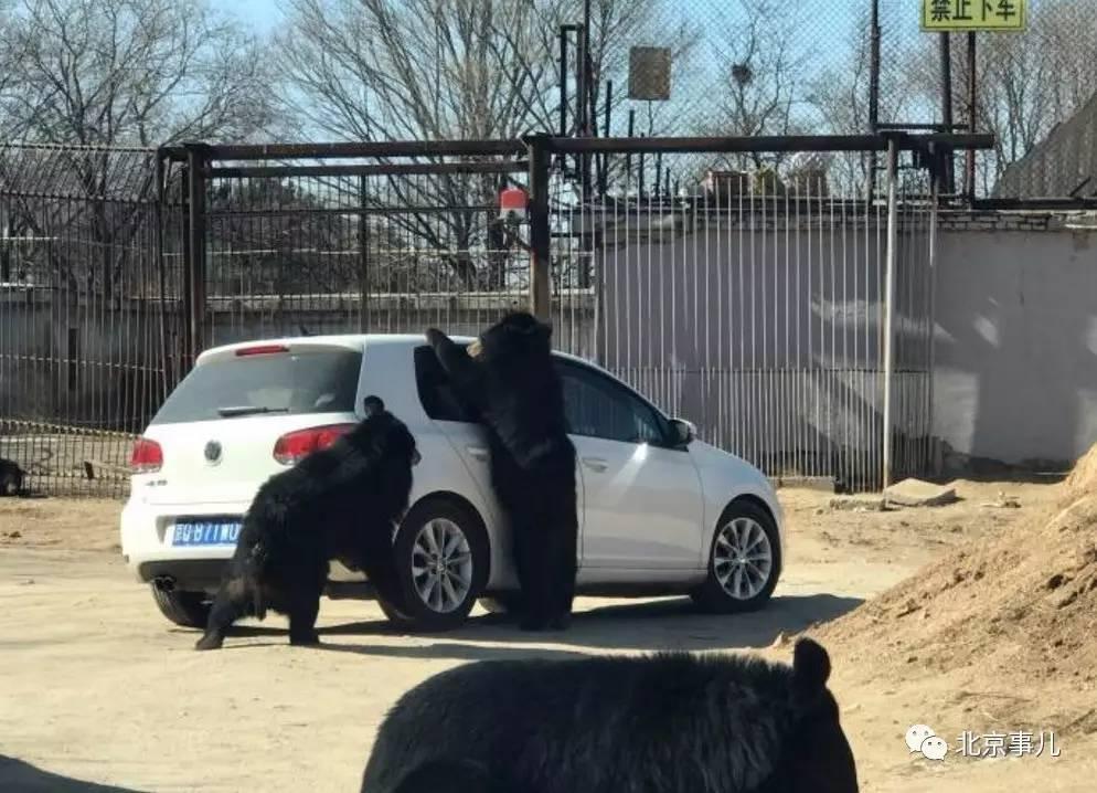 惊险!北京八达岭野生动物园轿车遭黑熊围堵