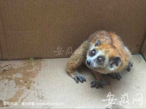 肥西发现国家一级保护动物懒猴 移交合肥动物园(图)