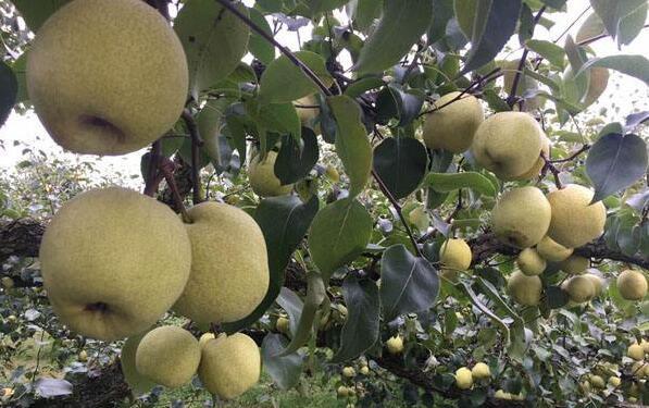 砀山酥梨20天热销300万斤农民增收逾200万元