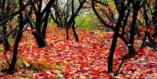 秋意袭游人 山林换新颜 青天河红叶华丽登场