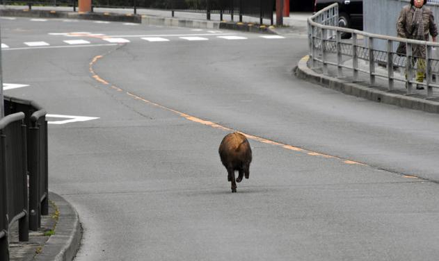 奔跑的野猪