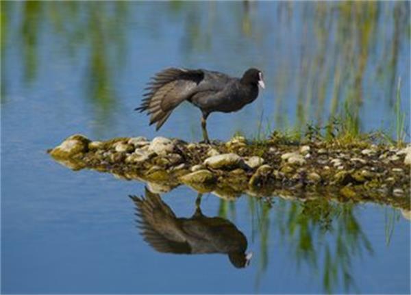 黑水鸡.jpg