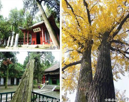 南阳卧龙岗:认养古树共建绿色风景线