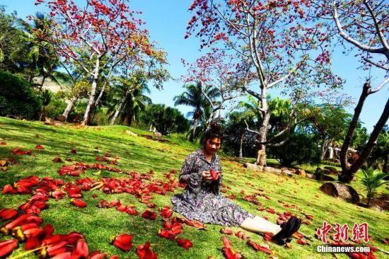 海南三亚的木棉花竞相绽放。陈文武摄