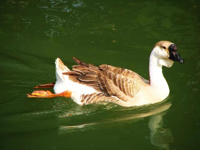 在广东 没有一只鹅能够活着游出珠江!