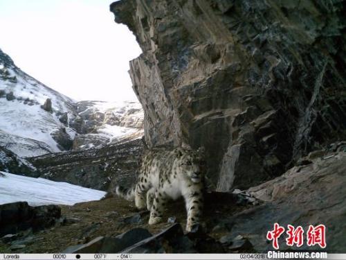 图为红外相机拍摄到的雪豹影像。 原上草自然保护中心 摄