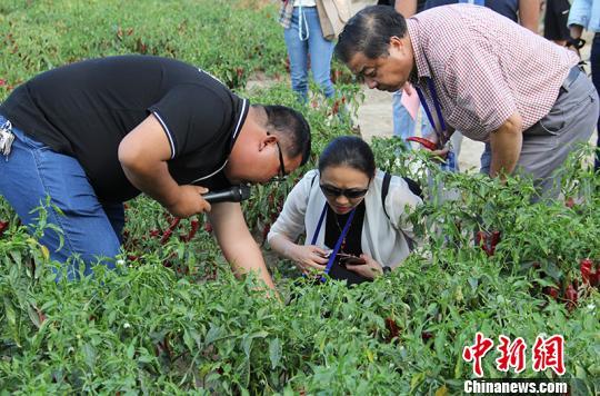 海外华文媒体在新疆兵团第二师二十一团辣椒地采访。 戚亚平摄