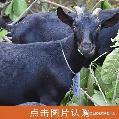 爱心扶贫!云龙镇七旬老大爷和30只羊的故事.....
