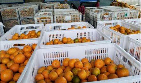 水果罐头知名品牌天同食品迎柑橘大丰收