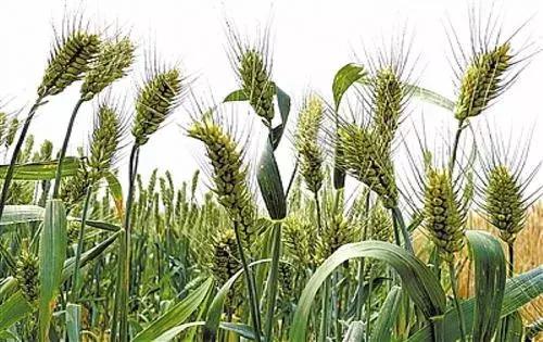 他发现的这5粒种子,让中国在杂交小麦上夺得话语权