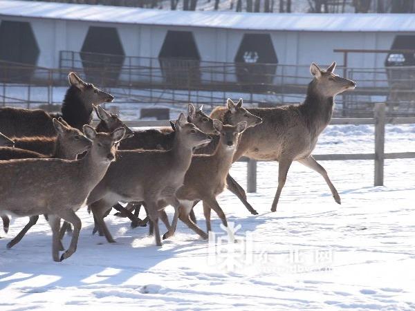 """北方森林动物园 动物们""""抖擞""""过元旦"""