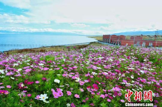 图为青海湖畔的格桑花海。(资料图) 鲁丹阳摄
