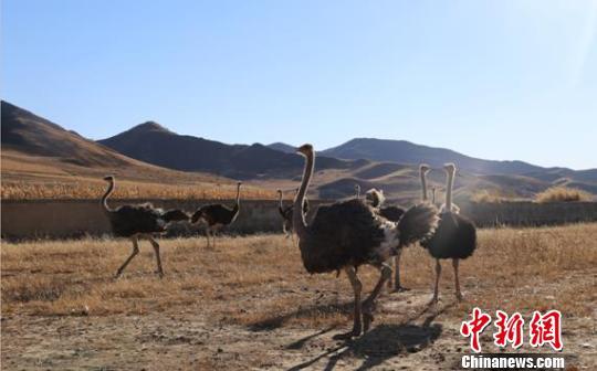 图为李南带领贫困户养殖的鸵鸟。 曲桂茹摄