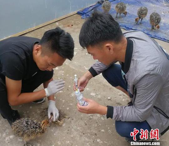 图为李南(左)和王大海照顾小鸵鸟。 曲桂茹摄