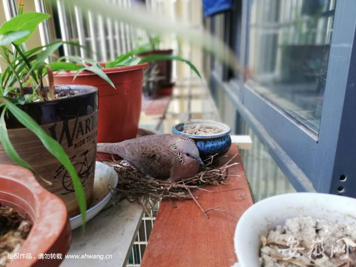斑鸠飞入百姓家和谐相处在阳台筑巢下蛋